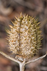 Wild plant with thorns. Close-up. Dried prickly plant. Macro photo. The rough texture of the surface of the plant. Dried thorn. Dry plant stem. Small details close up