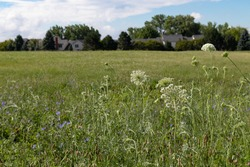 Wild Plants in a Green Grass Field in Suburban Bolingbrook Illinois during Summer with Houses in the Background