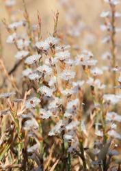 wild plants, photos of small white flowers