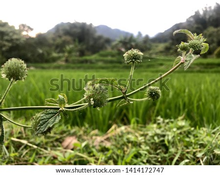 wild plants with rice field backgrounds #1414172747