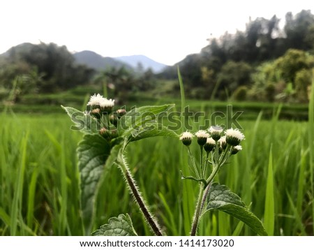 wild plants with rice field backgrounds #1414173020