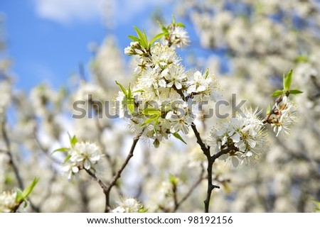 Wild Plum Branches Closeup. Early Spring Blossom - Wild Plum or American Wild Plum
