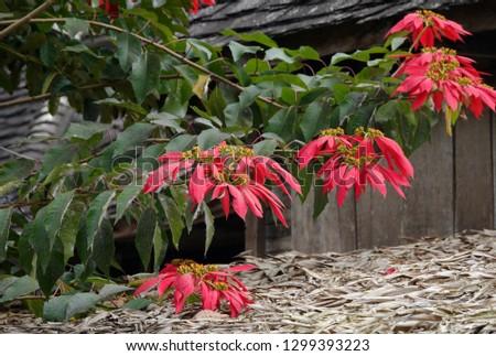 Wild Poinsettia tree (Euphorbia pulcherrima), also be called Christmas Star