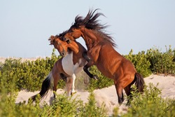 Wild ponies in Assateague Island, Maryland