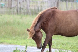 Wild Ponies of Assateague Island. Chincoteague Ponies on the Beach of Assateague island In Campground Walking around Campsites by Picnic Tables Eating and Grazing Grass