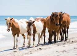 Wild Ponies on the Beach