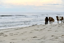 Wild ponies on the beach at the Assateague island national seashore