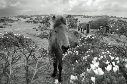 Wild pony grazing on yellow gorse on Bodmin Moor on a stormy spring day, Cornwall, England, United Kingdom