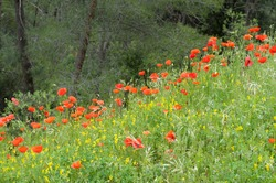 Wild poppies on the hill bordering Roussillon, Roussillon, Vaucluse, Provence-Alpes-Cote d'Azur, France