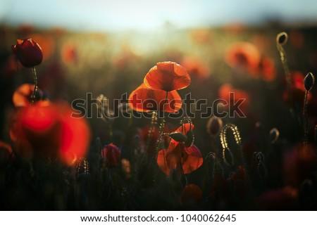wild poppy field - Armistice or Remembrance day background Сток-фото ©