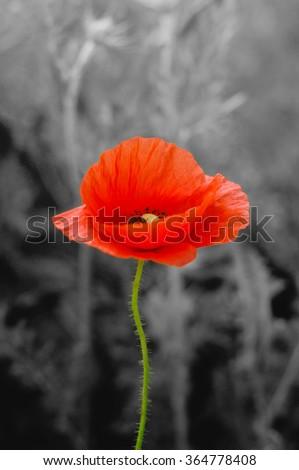 wild poppy flower on field
