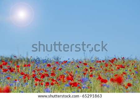Wild Poppy Flowers and Corn Flowers on a corn field
