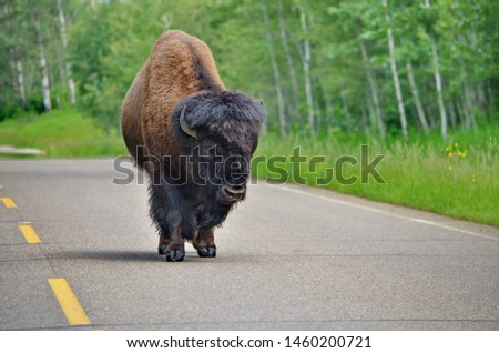 Wild Prairie Bison on roadway
