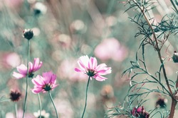 Wild purple cosmos flowers in meadow in rays of sunlight on nature macro on green background with copy space, soft focus, beautiful bokeh.
