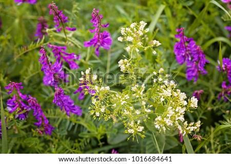 Wild purple flowers in tall green grass note shallow depth of field wild purple flowers in tall green grass note shallow depth of field mightylinksfo