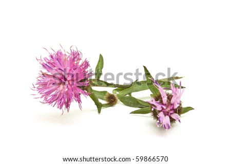 Wild Purple thistle like  Flower from english hedgerow isolated on white.