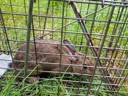 Wild rabbit caught in humane trap.