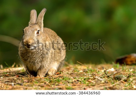 Wild rabbit in Formby nature resreve northwest UK #384436960