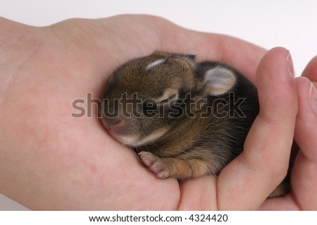 Wild rabbit orphan. 1 week-old