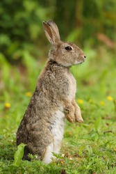 Wild Rabbit (Oryctolagus cuniculus) in a field.