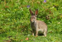 Wild Rabbit (Oryctolagus cuniculus) sitting in a field.