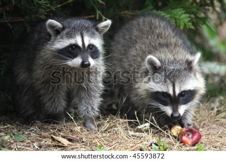 Wild raccoons