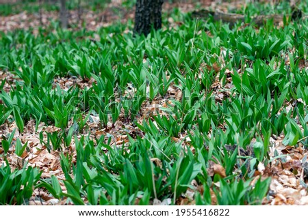 Wild Ramps - wild garlic ( Allium tricoccum), commonly known as ramp, ramps, spring onion,  wild leek, wood leek.  North American species of wild onion. in Canada, ramps are considered rare delicacies Stockfoto ©