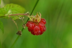 Wild raspberry berry ripe bright red on a green background