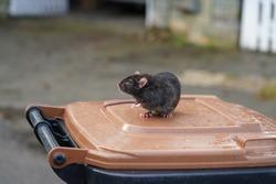 wild rat, rattus norvegicus, sitting on a dustbin, background street and garden fence