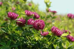 Wild red clover on the meadow, close-up, space for text. A purple-red flowers of zigzag clover (Trifolium medium) in the field on a sunny morning