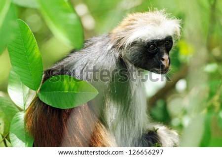 Wild Red Colobus monkey sitting on the branch in tropical forest on Zanzibar.