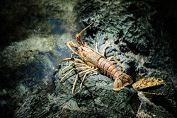 wild red crayfish in an aquarium. long mustache, many legs, crustacean in the water