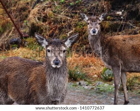 Wild red deer: Cervus elaphus #1410772637