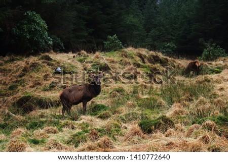 Wild red deer: Cervus elaphus #1410772640