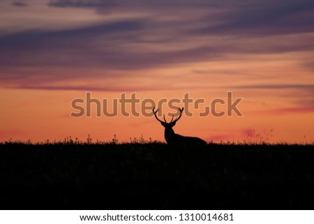 Wild red deer (Cervus elaphus) during red, bloody sunset in wild nature, in rut time, silhouette Picture, photo, wildlife photography of animals in natural environment, protect animals, hunting