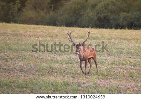 Wild red deer (cervus elaphus) during rut in wild autumn nature, in rut time, silhouette Picture, wildlife photography of animals in natural environment, protect animals, hunting, hunters, Slovakia