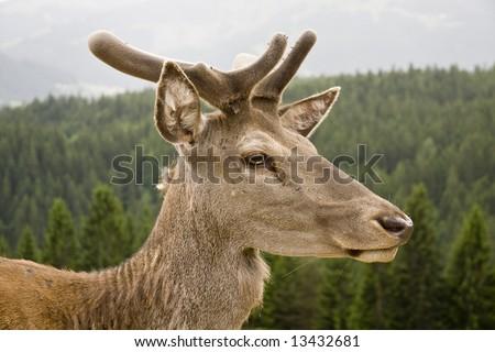 Wild red deer deep in an Austrian forest