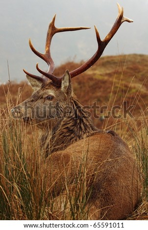 Wild Red Deer Stag at rest in the rain in the Scottish Highlands.