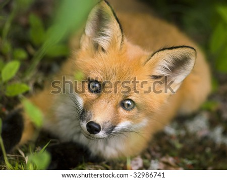 red fox. stock photo : wild red fox
