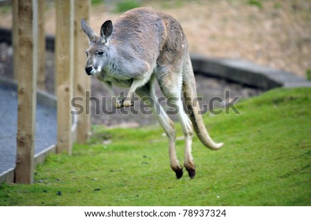 Wild Red Kangaroo in Austrailia
