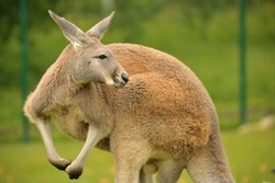 Wild Red Kangaroo in Australia