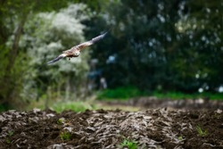 Wild Red Kite flying/hovering over a maize field, which is being ploughed, in search of food, worms, in natural habitat in Yorkshire, UK.
