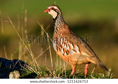 Wild Red-legged Partridge in natural habitat of reeds and grasses on moorland in Yorkshire Dales, UK. #1211626753