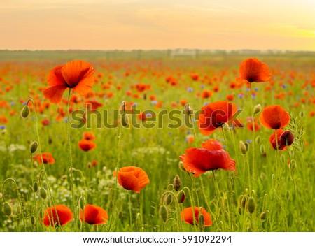 Shutterstock wild red poppies
