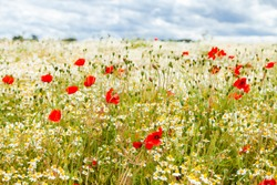Wild red poppies and camomile on the green field in the north of France, Normandie. Bright flower blossom in June. Sunny day, blue sky, white clouds. Beautiful landscape.