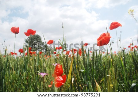 wild red poppies growing on a wheat field