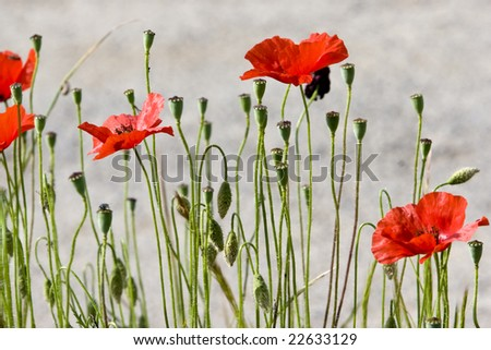 wild red poppies in bloom