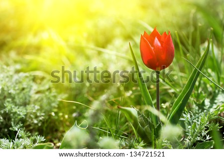 wild red tulip on a sunny meadow