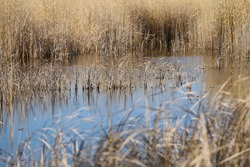 Wild reed grass in gold yellow standing in blue pools of lake water, Neusiedler See, Austria, selective focus a strand of grass, upper brushy streak in the middle, upper and lower image parts blurry