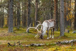 Wild reindeer grazing in pine forest in Lapland at autumn, Northern Finland. Beautiful male deer portrait